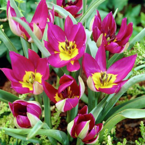 Тюльпан Ботанический Persian Pearl