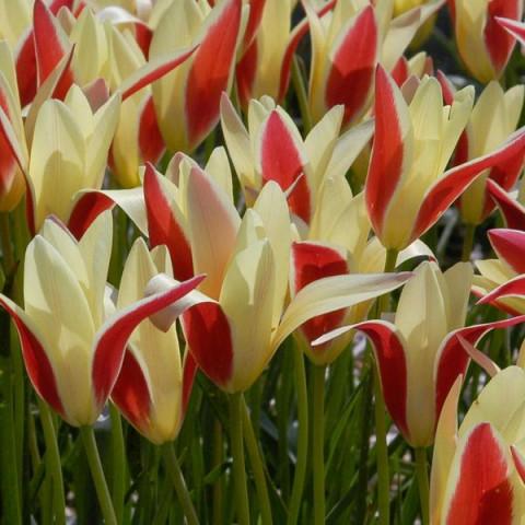 Тюльпан Ботанический Tinka