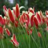 Тюльпан Ботанічний Tinka