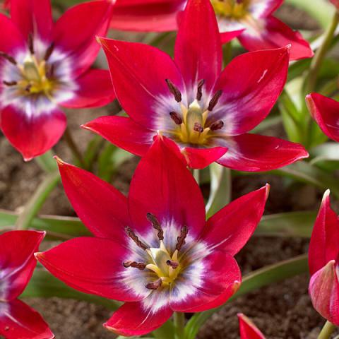Тюльпан ботанический Tiny Timo