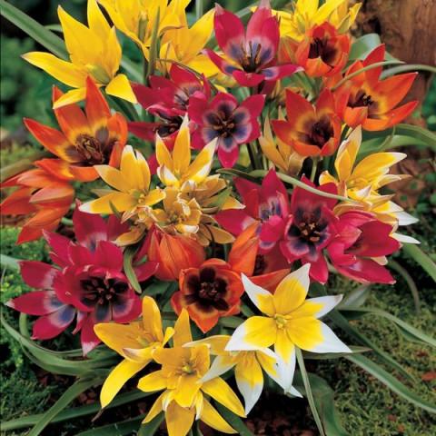 Тюльпан Ботанический смесь