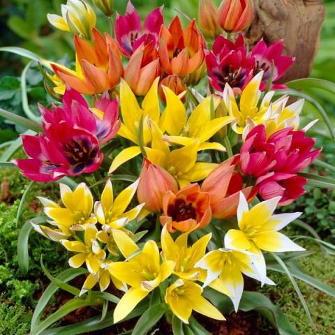 Тюльпан Ботанический Микс