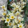 Тюльпан Ботанічний Turkestanica