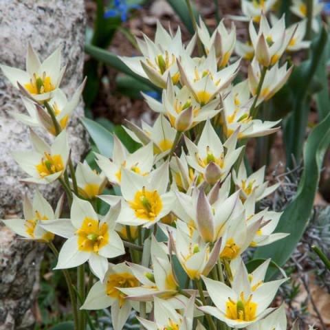 Тюльпан Ботанический Turkestanica