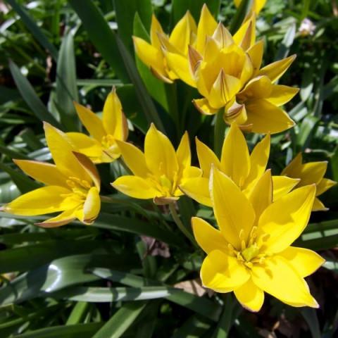 Тюльпан Ботанический Urumiensis