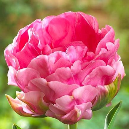 Тюльпан Махровий Christo
