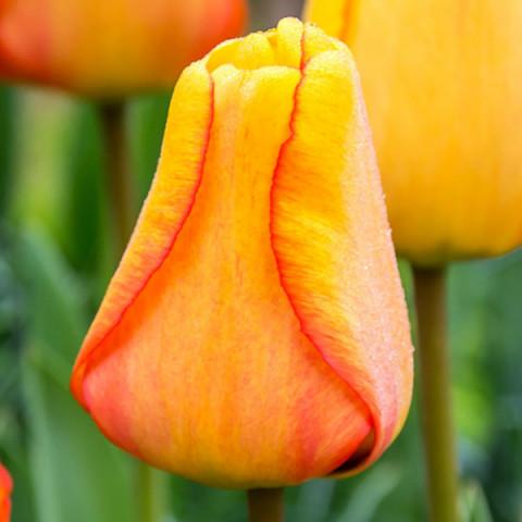 Тюльпан Гибрид Дарвина Blushing Apeldoorn