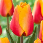 Тюльпаны гибрид Дарвина