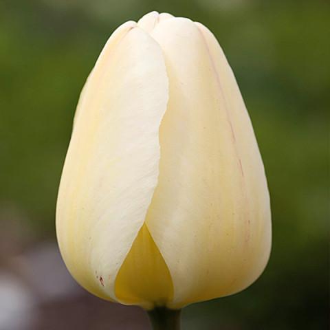 Тюльпан Гибрид Дарвина Ivory Floradale