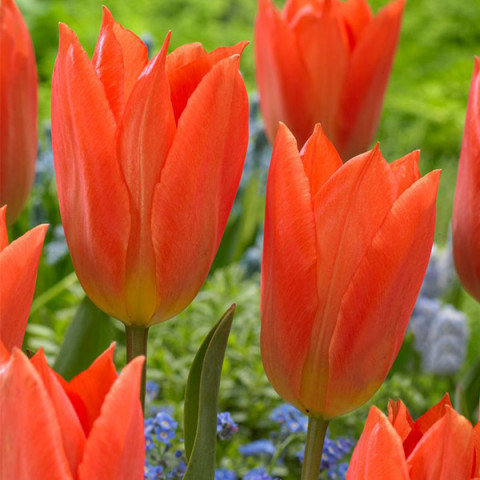 Тюльпан гібрид Фостера Orange Brilliant