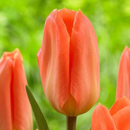 Тюльпан Гібрид Фостера Orange Emperor