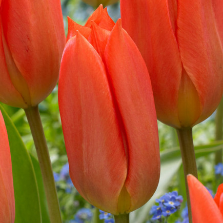 Тюльпан гибрид Фостера Orange Brilliant