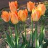 Тюльпан Гібрид Фостера Orange Breeze