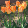 Тюльпан Гибрид Фостера Orange Breeze