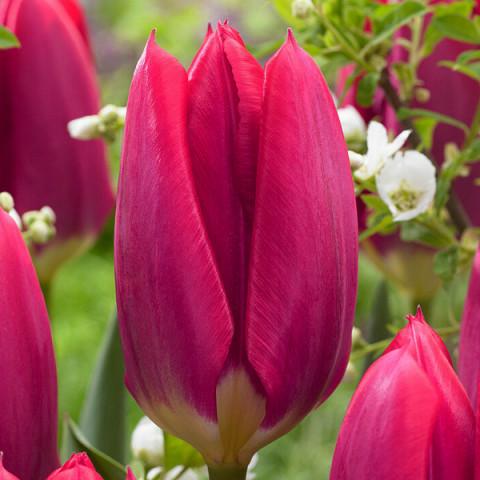 Тюльпан Гібрид Фостера Purple Purissima