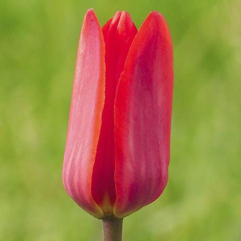 Тюльпан Гібрид Фостера Rose Emperor