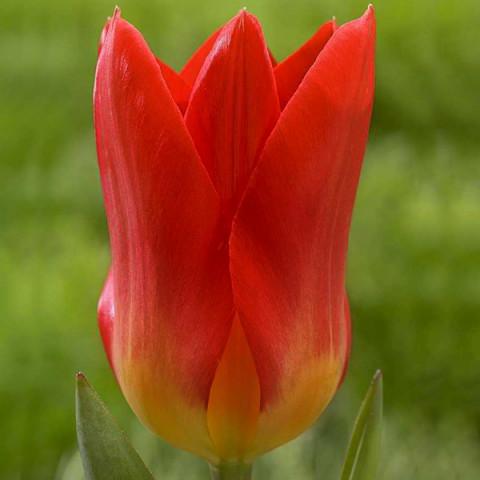 Тюльпан Гібрид Фостера Spring Pearl