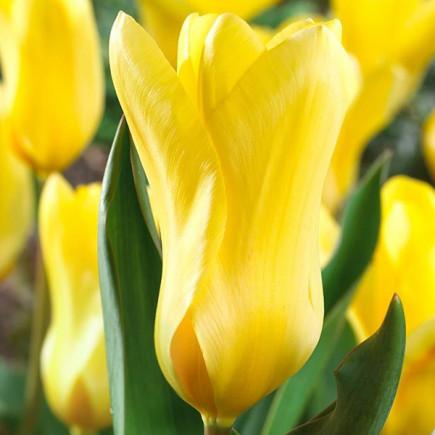 Тюльпан Гибрид Фостера Yellow Empress