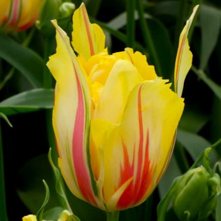 Тюльпан Махровый Frejus
