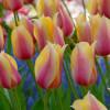 Тюльпан Гигантский Blushing Lady