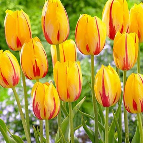 Тюльпан Гигантский Hocus Pocus