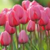 Тюльпан Гігантський Pink Impression