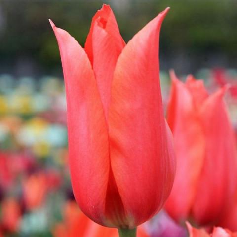 Тюльпан Гигантский Temple's Favourite