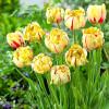 Тюльпан Махровий Glamour Unique