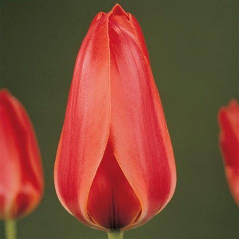 Тюльпан Грейга Diantha