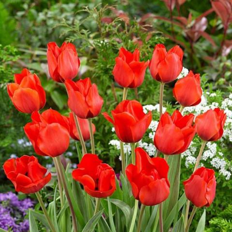 Тюльпан Грейга Bernadette