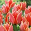 Тюльпан Грейга Calypso