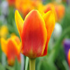 Тюльпан Грейга Cape Cod