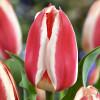 Тюльпан Грейга Coors