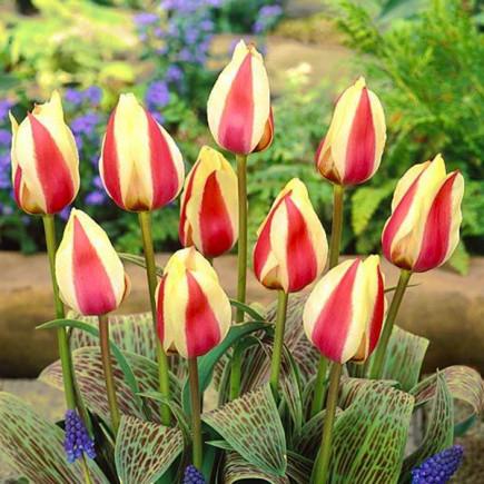Тюльпан Грейга Donna Bella