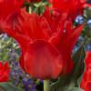 Тюльпан Грейга Double Red Riding Hood
