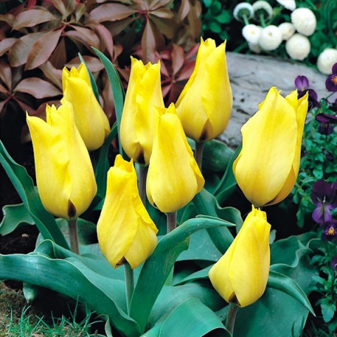 Тюльпан Грейга Gold West