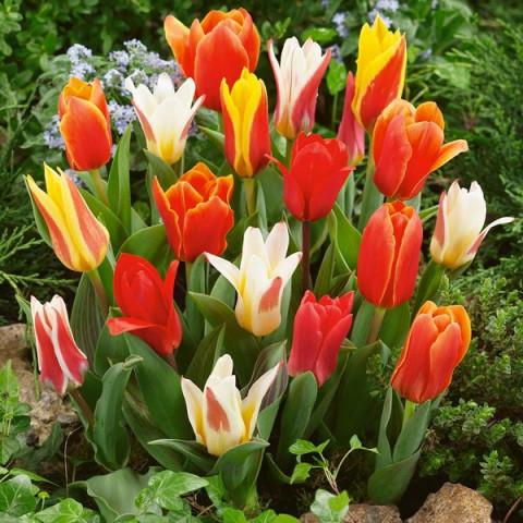 Тюльпани низькорослі (Грейга + Кауфмана) суміш