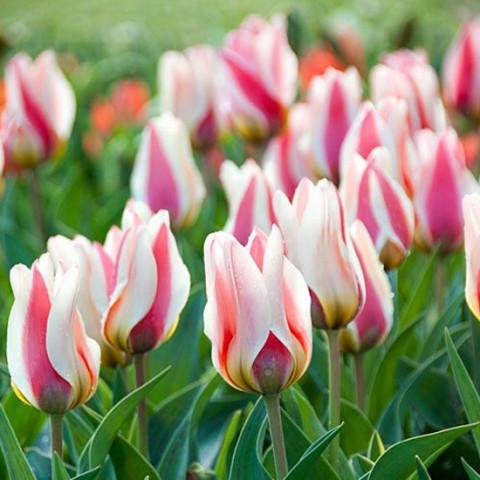 Тюльпан Грейга Mary Ann