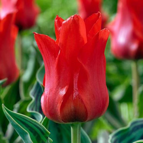 Тюльпан Грейга Oriental Beauty
