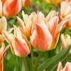 Тюльпан Грейга Quebec