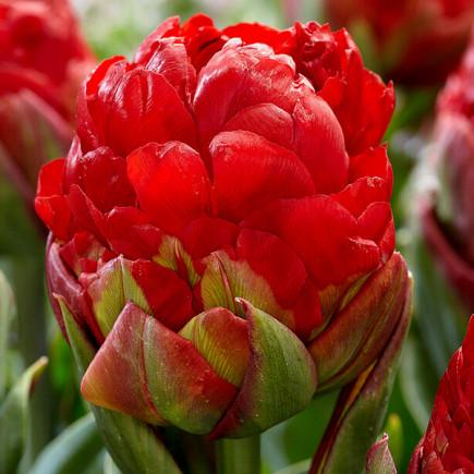 Тюльпан Махровый Ice Cream Strawberry