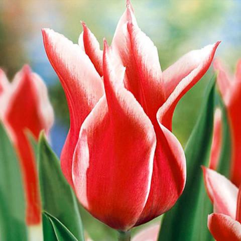 Тюльпан Лилиевидный Akita