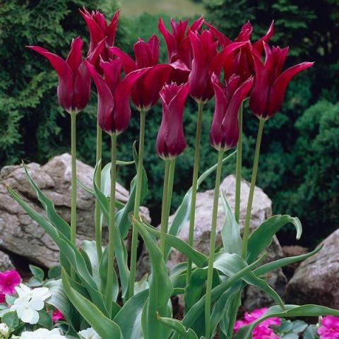 Тюльпан Лилиевидный Burgundy
