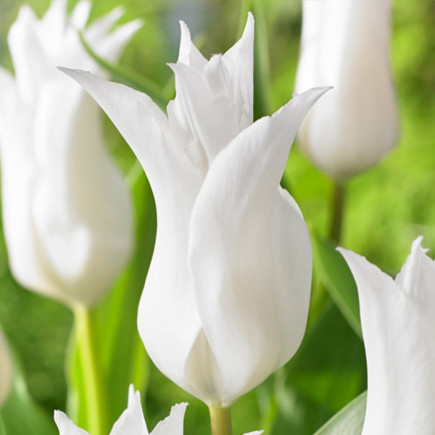 Тюльпан Лилиевидный Chic Lily
