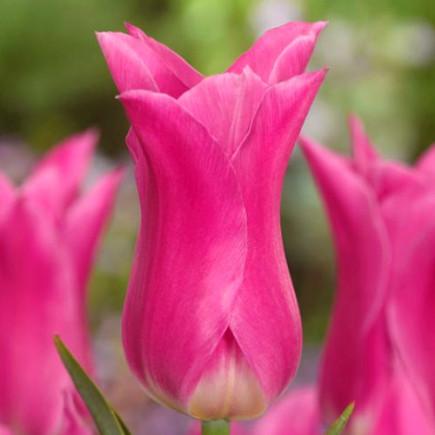 Тюльпан Лилиевидный China Pink