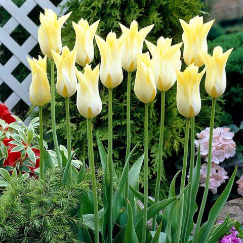 Тюльпан Лилиевидный Cistula