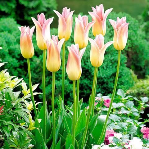 Тюльпан Лилиевидный Elegant Lady