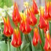 Тюльпан Лилиевидный Fly Away
