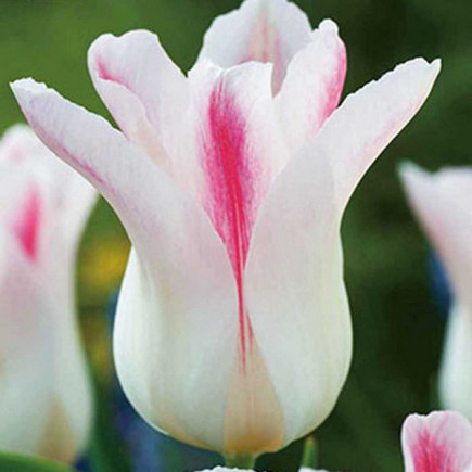 Тюльпан Лілієподібний Holland Chic (premium)