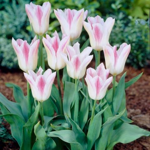 Тюльпан Лилиевидный Holland Chic